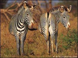La femelle du zèbre peut-elle en avoir deux dans son ventre ?