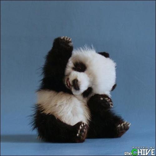 J'observe l'image et je vois : un bébé panda brun et blanc !
