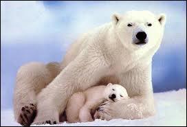 J'observe l'image et je vois : 2 ours blancs et dont le petit dort !