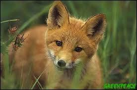 J'observe l'image et je vois : un renard entre les herbes !
