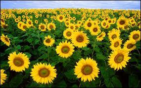 J'observe l'image et je vois : des tournesols aux pétales jaunes !