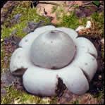 Mais ma parole ! C'est un champignon extra-terrestre ou alors plutôt un :