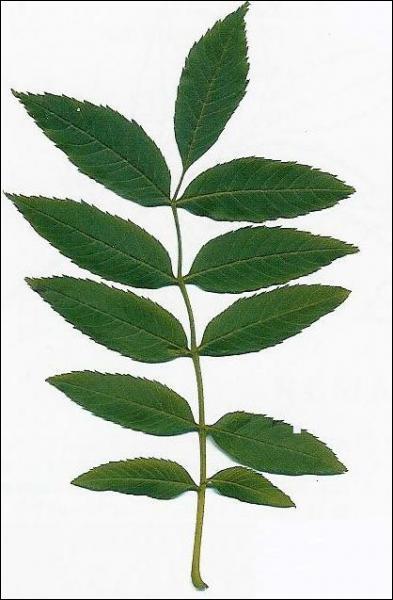 A quel arbre appartiennent ces feuilles ?