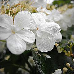 De quel arbuste proviennent ces fleurs ?