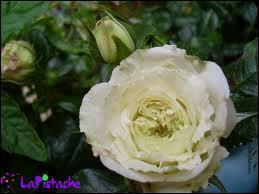 Vous allez reconnaître cette fleur qu'Aragon associe au réséda dans un de ses poèmes :