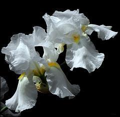 Quelles sont ces fleurs dont certaines espèces sont très recherchées en parfumerie ?
