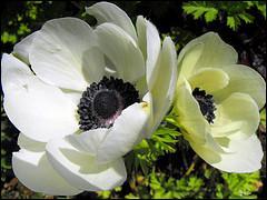 Comment se nomme cette fleur qui nous rappelle une première dame ?