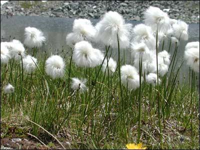 Quelle est cette fleur que l'on trouve souvent dans les tourbières ?