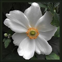 Des fleurs blanches comme neige !
