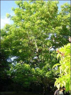 Cet arbre que vous voyez en photo se nomme  sterculier fétide ,  arbre à caca  ou encore  olivier putois .