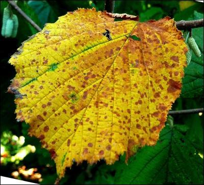 De quel arbre dont nous dégustons les fruits à l'automne est issue cette feuille ?