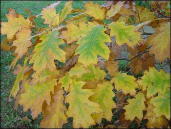 Que sont ces jolies feuilles aux couleurs d'automne ?
