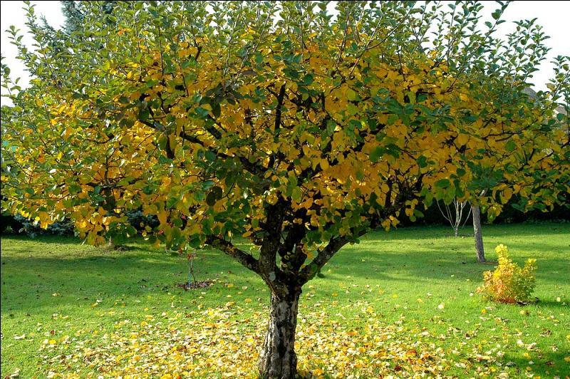 Quel est ce bel arbre dont nous cueillons les fruits à l'automne ?