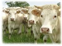 Quizz sur l'élevage de bovins