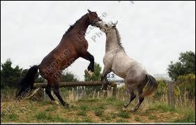 Les batailles entre étalons du troupeau (dans la nature) sont-elles simplement des chamailleries ?