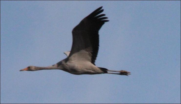 Oiseau migrateur de grande envergure qui se déplace en groupes nombreux. Il tient son nom de son cri.