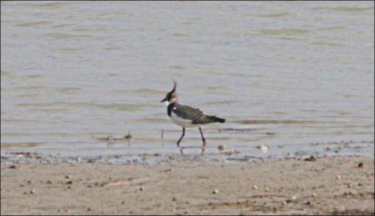 Oiseau facilement reconnaissable en vol grâce à ses ailes arquées. Il peuple nos champs et nos zones humides mais se montre particulièrement méfiant.