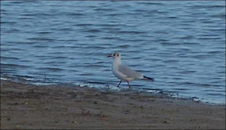 Oiseau marin qui se sédentarise de plus en plus à l'intérieur des terres.