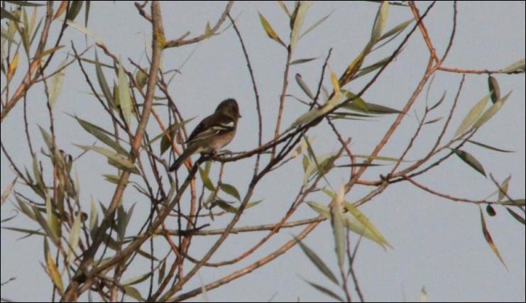Petit passereau commun qui migre en groupes composés de nombreux individus. Le mâle possède un plastron rouge-orangé alors que celui de la femelle est marron clair.