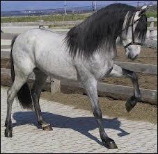 Quelle est la race de ce beau cheval souris ?