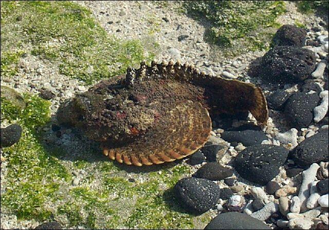 Quel est le nom de cet animal aquatique, un des plus toxiques de tous ?