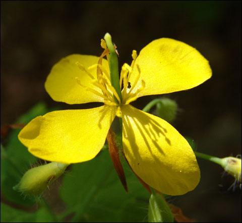 Quelle est cette fleur appelée aussi  herbe à verrue  qui malgré ses nombreuses qualités médicinales contient toutefois un alcaloïde toxique ?