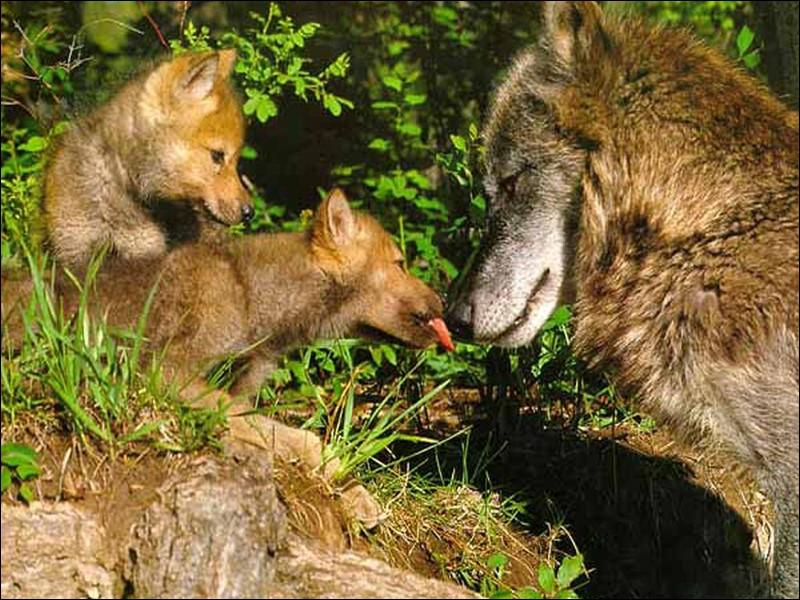 Combien de temps environ la louve porte-t-elle ses petits avant de mettre bas ?