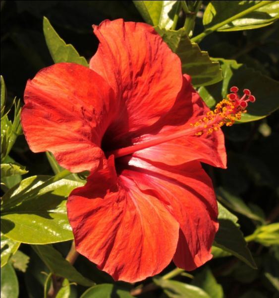 Reconnaissez-vous cette magnifique fleur orangée qui peut revêtir d'autres couleurs ?