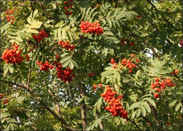 Quel est cet arbuste très décoratif ?