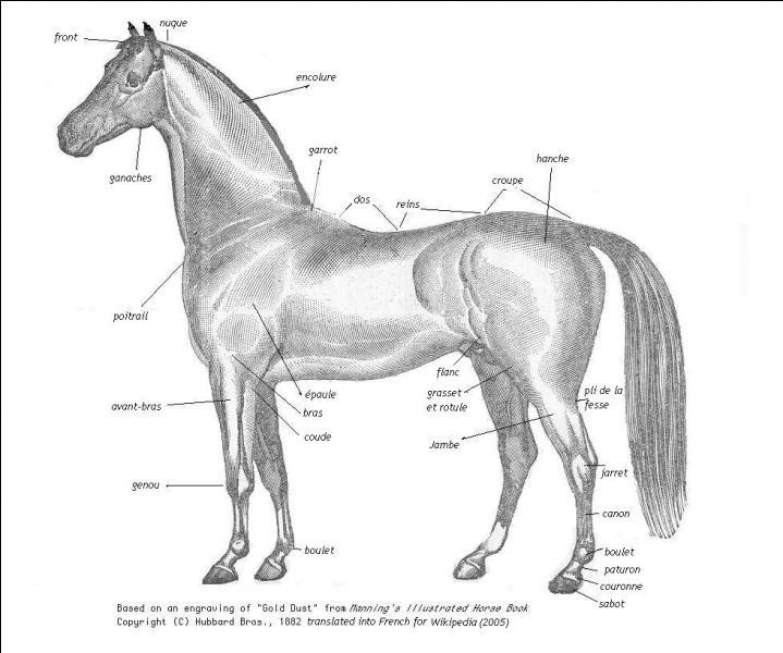 Quelle partie du corps ne fait pas partie du cheval ?