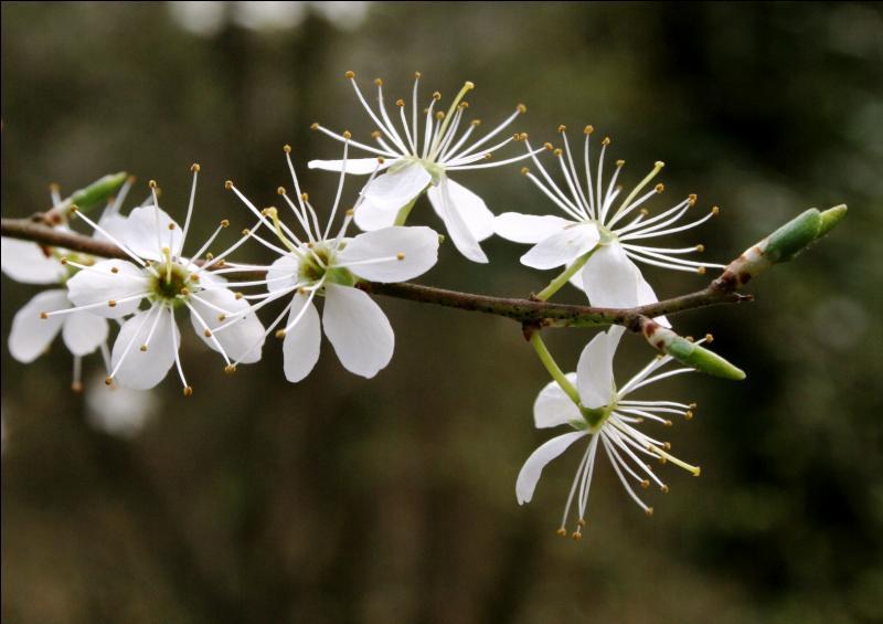 Quelle est cette fleur, curieusement blanche ?