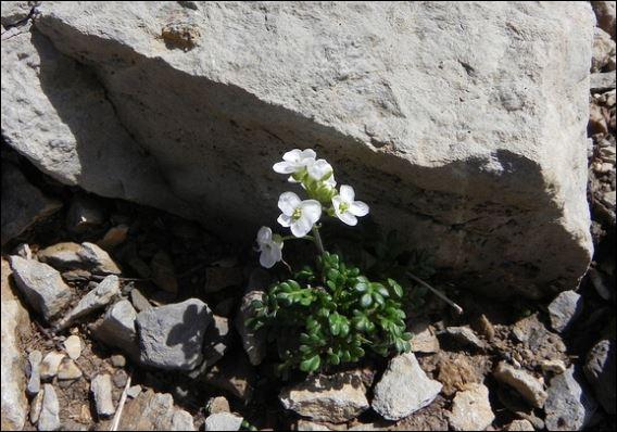 Quel est le nom de cette fleur, visiblement appréciée de jolis cervidés montagnards ?