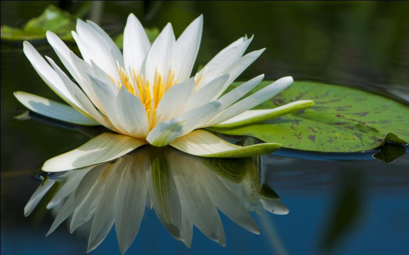 Comment appelle-t-on cette fleur aquatique très jolie ?