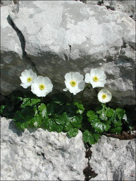 Quel est le nom de cette fleur, cousine montagnarde du  bouton d'or  des plaines ?