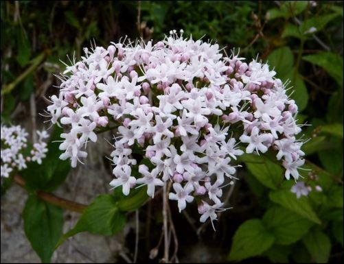 Quel est le nom de cette fleur, aussi un prénom aristocratique ?