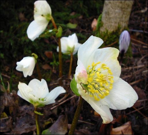 Quelle est cette fleur dont le nom peut évoquer une joie pour les enfants ?