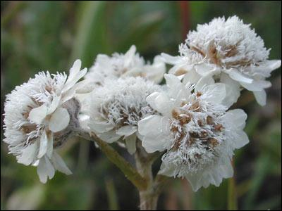 Comment appelle-t-on cette fleur au nom montagneux de l'est ?