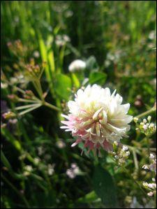 Quelle est cette fleur dont certains spécimens, par forcément de cette espèce ci, portent bonheur ?