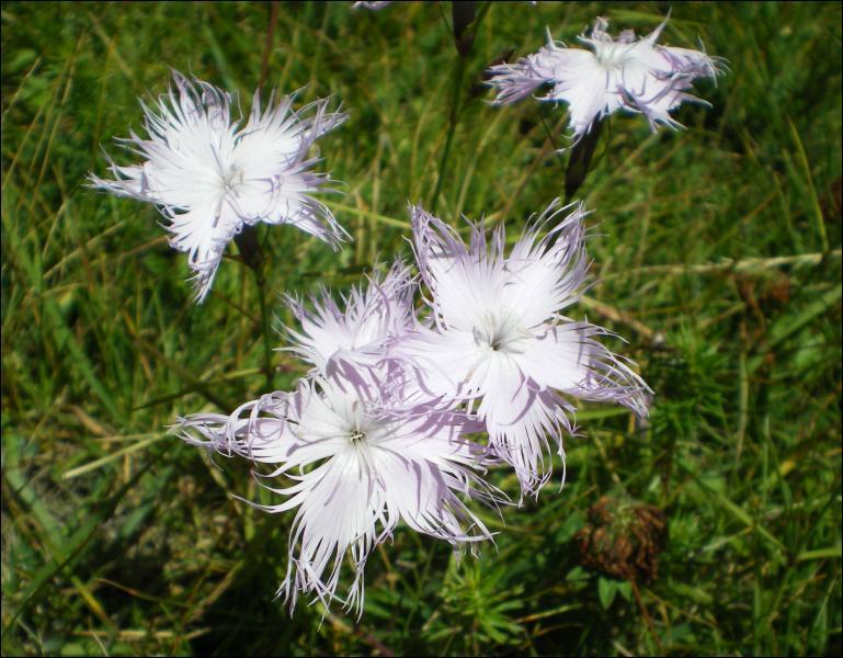 Comment appelle-t-on cette fleur évoquant les flots de Palavas ?