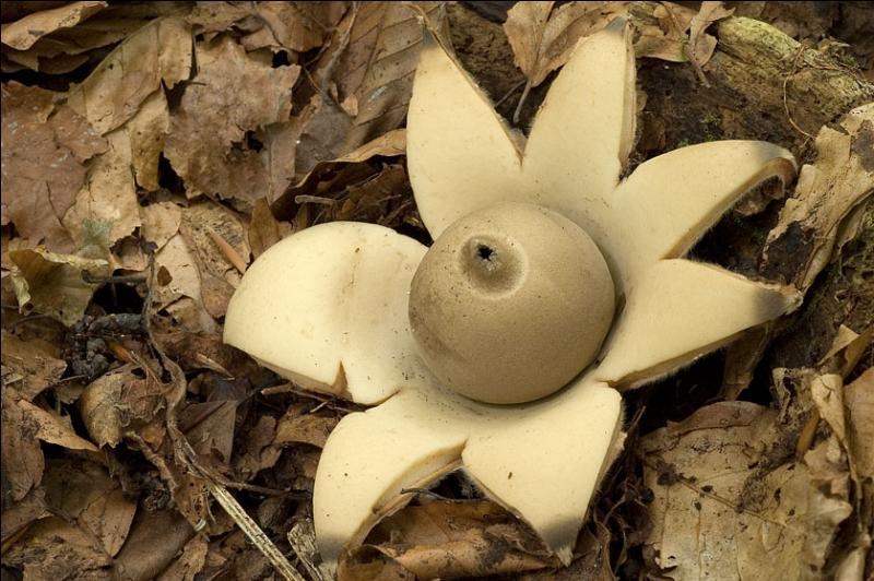 Quel est ce champignon ?
