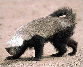 Quel est cet animal qui peut vivre jusque 7 ans dans la nature ?