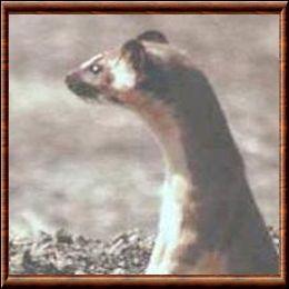 Quel est cet animal aussi appelé belette de Don Felipe ?
