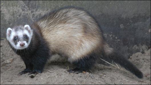 Quel est cet animal aussi appelé furet ?