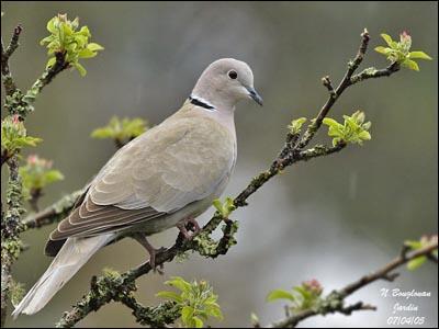 Cet oiseau est un pigeon biset, bien connu dans les villes.