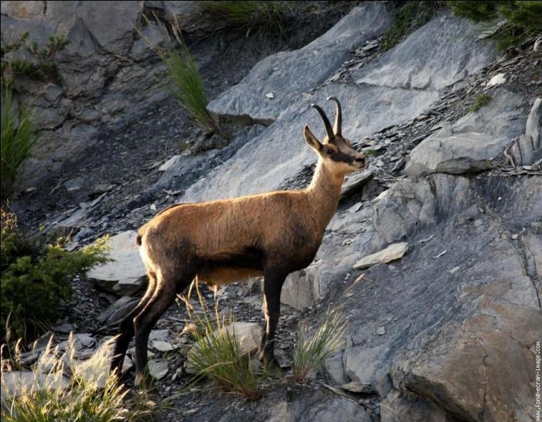 Quel est ce mammifère des Alpes ?