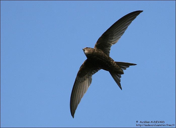 L'hirondelle de fenêtre et le martinet noir sont des oiseaux que l'on confond souvent. Celui que vous voyez sur la photo est...