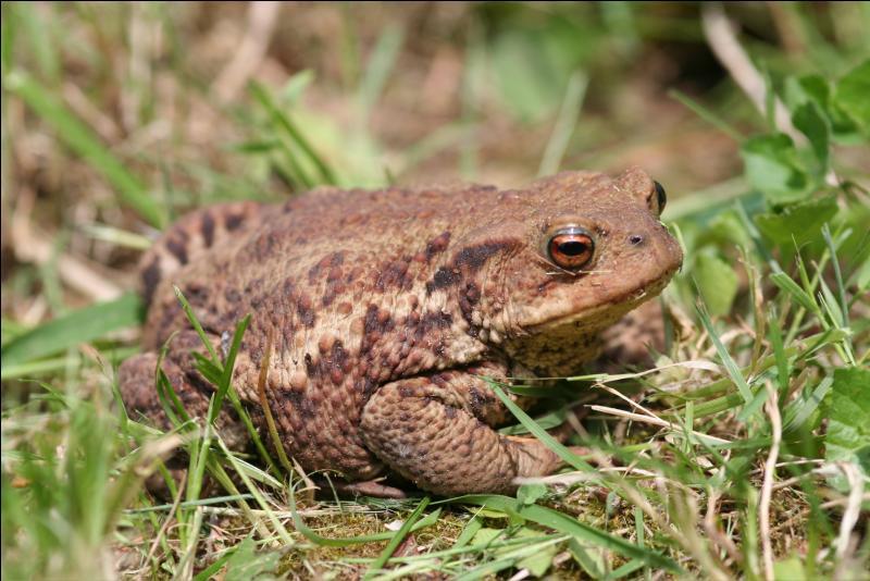 Regardez bien cette photo. Il s'agit bien d'une grenouille n'est-ce pas ?