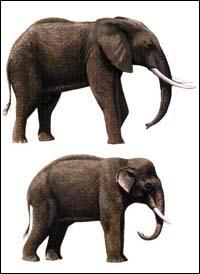 Quelles différences y a-t-il entre l'éléphant d'Afrique et l'éléphant d'Asie ?