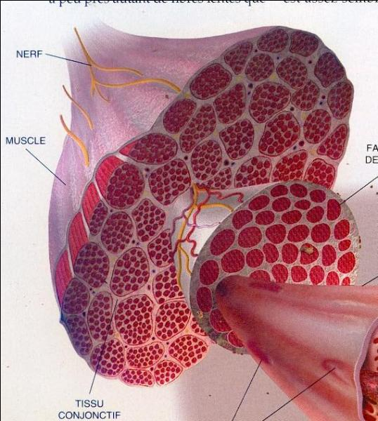Quelle partie du corps est la plus musclée en terme de nombre de muscles ?