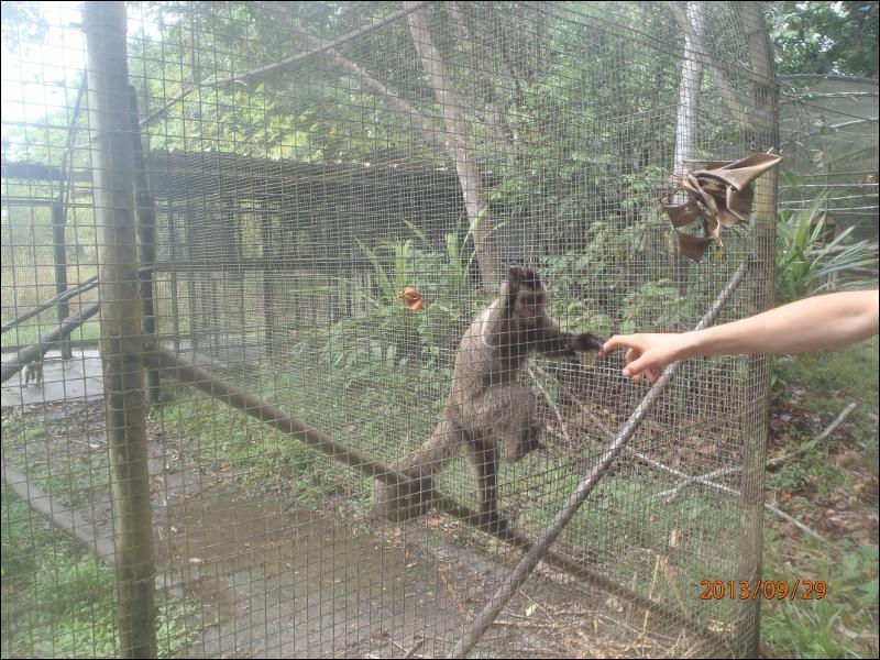 La queue des singes d'Amérique est préhensile, comme celle des singes d'Asie, ils peuvent se suspendre à une branche avec !